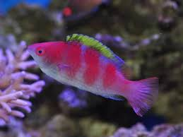 Reef safe wrasse fish cleaner wrasse and other reef safe for Oily fish representative species