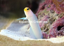 Picture of Yellow Head Jawfish