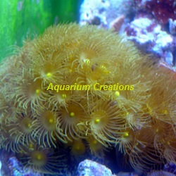 Picture of Yellow Parazoanthus Polyps