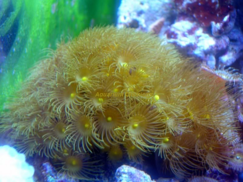 Picture of  Yellow Polyping Coral, Parazoanthus gracilis