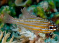 Picture of Captive Bred Yellowstriped Cardinalfish, Ostorhinchus cyanosoma