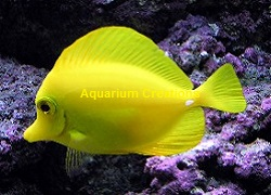 Picture of Yellow Tang,Zebrasoma flavescens (Hawaii)
