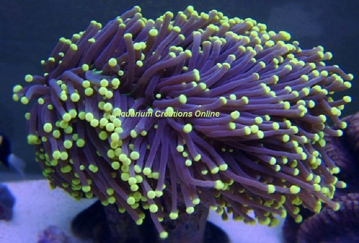Picture of Yellow Tip Torch Coral, Australia