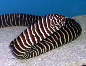 Click to view you tube video of a beautiful zebra moray for Eel fish tank