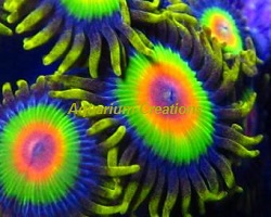 Picture of Aquacultured Rasta Zoanthid Polyps