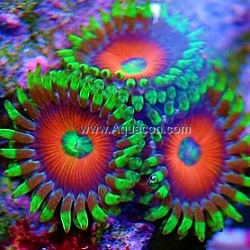 Picture of Eye of Jupiter Zoanthid