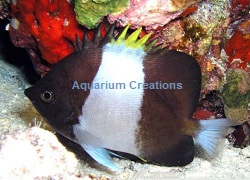 Picture of Zoster Butterflyfish, Hemitaurichthys zoster