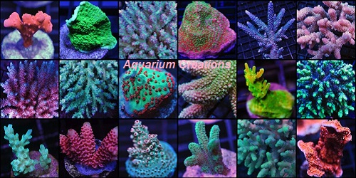 Picture of ORA Captive Grown Acropora Pack