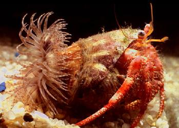bristle worm and hermit crab symbiotic relationship