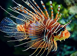 Picture of Antennata Lionfish
