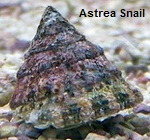Picture of Astrea Snail