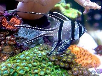 Pterapogon kauderni for Saltwater aquarium fish for sale