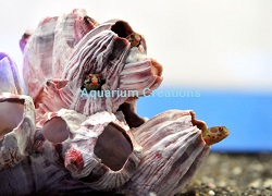 Picture of Galopagos Barnacle Blenny