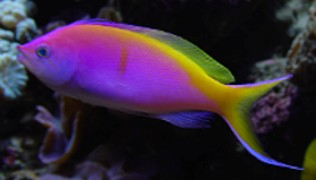 Picture of Bartletts Anthias