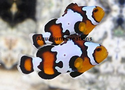 Black Ice Snowflake Clownfish