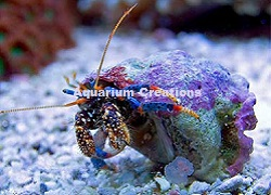 Picture of Dwarf Blue Leg Reef Hermit Crab