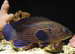 Picture of Blue line Grouper