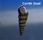 Picture of Cerith Snails