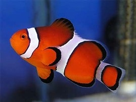 Clownfish for Sale Species for the Home Aquarium
