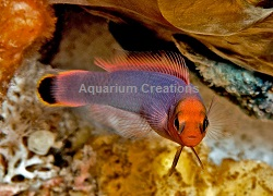 Picture of Red Elongated Dottyback,Captive Bred