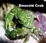Picture of Emerald Crab