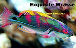 Exquisite Fairy Wrasse, Cirrhilabrus exquisitus