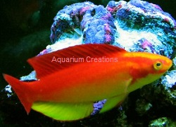 Picture of Hawaiian Flame Wrasse, Cirrhilabrus jordani