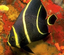 Picture of French Angel fish