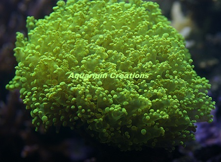 Picture of Metallic Green Frogspawn Coral, Euphyllia divisa