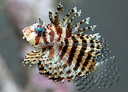 Picture of Fuzzy Dwarf Lionfish