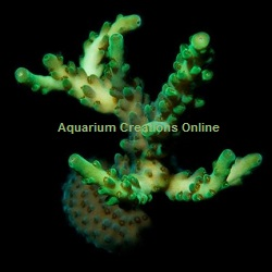Picture of Gecko Green Acropora, Aquacultured by ORA®