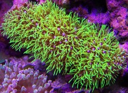 Very hardy  light and water tolerant  Metallic Green Star polyps are  extremely hardy and can survive most reef tank conditions  They prefer  moderate water  Zoanthids Palythoa Polyping Corals. Green Star Polyp Lighting Requirements. Home Design Ideas