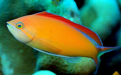 Picture of Ignitus Anthias