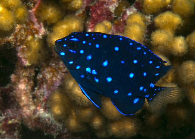 Marine aquarium damsels marine aquarium chromis for Blue saltwater fish