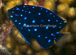 Picture of Jewel Damselfish