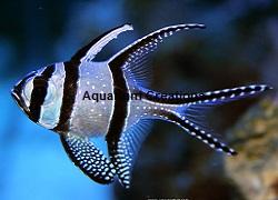 Picture of Captive Bred Kaudern's Cardinalfish, Pterapogon Kauderni