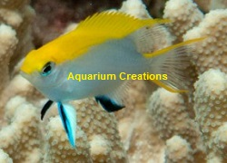 Picture of Bluefin Chromis