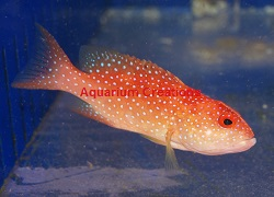 Picture of Cherry Louti Grouper