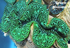 Picture of Green Maxima Clam