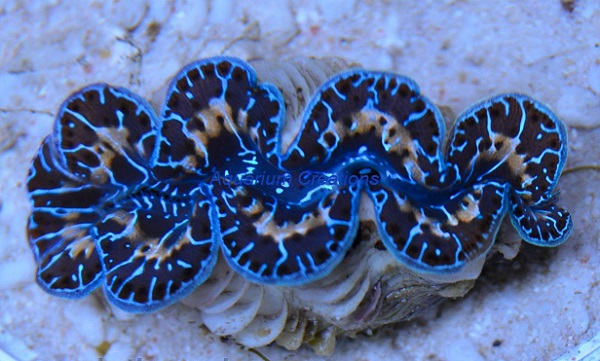 Picture of Saltwater Aquarium Maxima Clam, Multicolor, Aquacultured