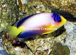 Picture of Multicolor Angelfish