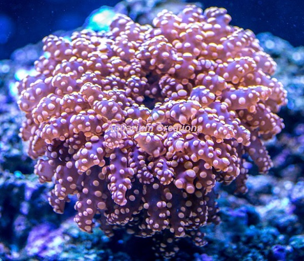 Picture of Super Orange Frogspawn Coral, Australia