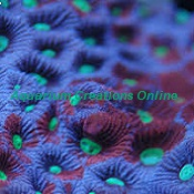 Picture of Painted War Coral, Aquacultured