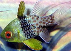 Picture of Captive Bred Red Spotted Pajama Cardinal Fish, Sphaeramia nematoptera
