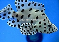 Picture of Panther Grouper