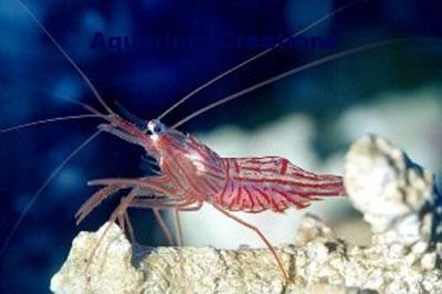 Peppermint Shrimp, Lysmata wurdemanni