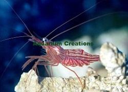 Saltwater Aquarium Shrimp| Cleaner Shrimp| Fire Shrimp