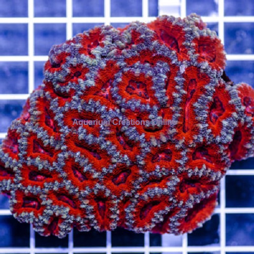 Picture of Two Color Acanthastrea lordhowensis Corals, Australia