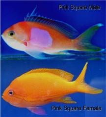 Pseudanthias pleurotaenia for Pink saltwater fish
