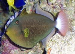 Picture of Pinktail Triggerfish, Melichthys vidua